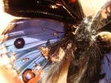 Matinya Seraut Kupu-kupu